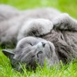 Gray cat — Stock Photo #6287432