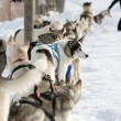 Husky sled-dogs - Stock Photo