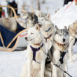 Stock Photo: Husky sled-dogs