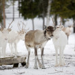 Reindeer — Stock Photo #6287582