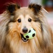 Foto de Stock  : Sheltie