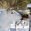 Reindeer — Stock Photo #6287698
