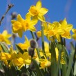 Daffodils — Stock Photo #6287727