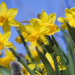 Daffodils - Foto Stock