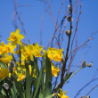 Daffodils — Stock Photo #6287739