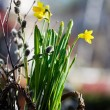 Daffodils — Stock Photo #6287740
