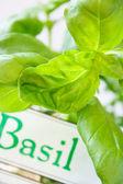 Basil — Stock Photo