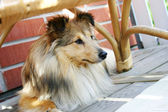 Sheltie — Stockfoto