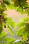 Foglie di quercia — Foto Stock