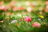 Fallen apples — Stock Photo