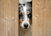 Blue merle sheltie — Stock Photo