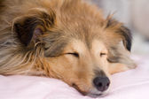 Brown sheltie — Stock Photo