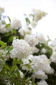 White flowers — Stock Photo
