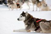 Huskies — Stock Photo