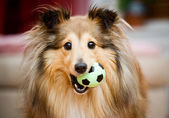Sheltie — Fotografia Stock