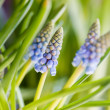 Muscari - Stock Photo