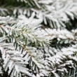 Stock Photo: Pine tree in winter