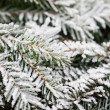 Pine tree in winter — Stock Photo #6335806