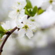 Stock Photo: Plum tree blooming