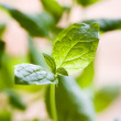Fresh mint — Stock Photo #6336038