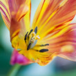 Colorful tulip - Stock Photo