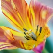 Stock Photo: Colorful tulip