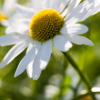 Daisy — Stock Photo #6336114