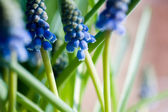 Muscari — Stock Photo