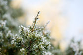 Pine tree in winter — Stock Photo