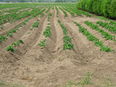Potato-growing field — Stock Photo