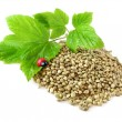 Stock Photo: Hemp seeds, twig and ladybug isolated