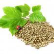Hemp seeds, twig and ladybug isolated - Stock Photo