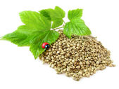 Hemp seeds, twig and ladybug isolated — Stock Photo
