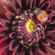 Dahlia and ladybug close up - Stock Photo