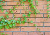 Mur z cegły i bluszcz zwisają na to — Zdjęcie stockowe