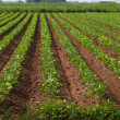 Agricultural land with row crops — Stock Photo #6135322