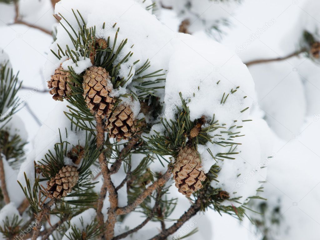 Winter Wallpaper With Pine Cones Pine cone in winter snow Stock Photo urban light