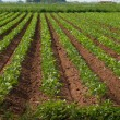 Agricultural land with row crops — Stock Photo #6320946