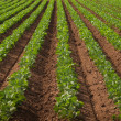 Agricultural land with row crops — Foto Stock