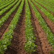 Agricultural land with row crops — Stock Photo