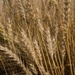 Grain Field — Stock Photo #6321217