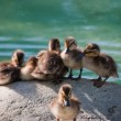 ducklings — Stock Photo