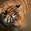 Close Up of Tiger — Stock Photo #6322704