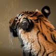 Close Up of Tiger — Stock Photo #6322716