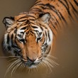 Close Up of Tiger — Stock Photo #6322812