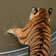 Close Up of Tiger — Stock Photo