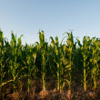 Corn field — Stock Photo #6323328