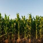 Corn field — Stock Photo #6323328