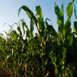 Corn field — Stock Photo #6323346