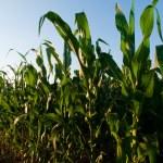 Corn field — Stock Photo #6323346